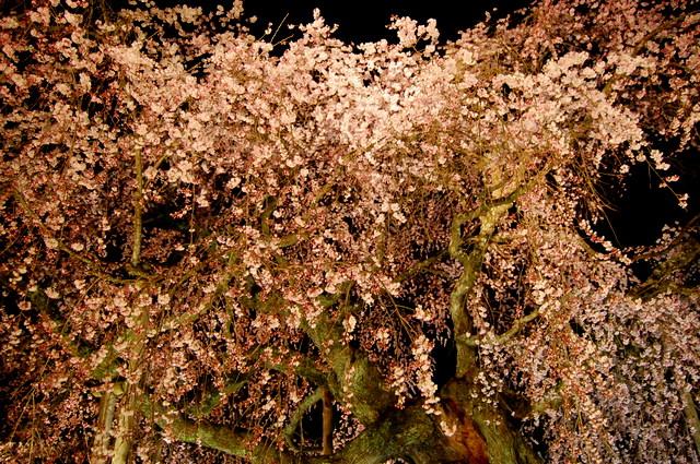 夜桜_d0172270_16281847.jpg