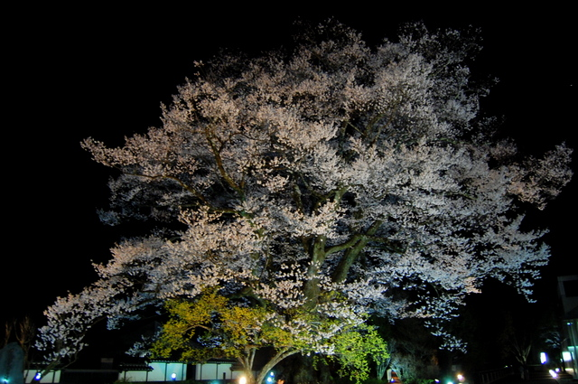 夜桜_d0172270_16283164.jpg