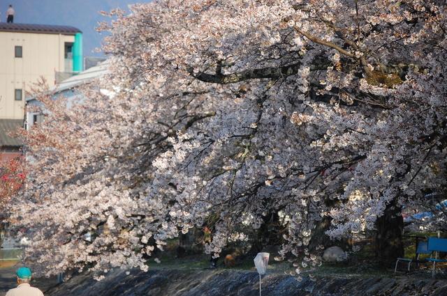 夜桜_d0172270_16342745.jpg