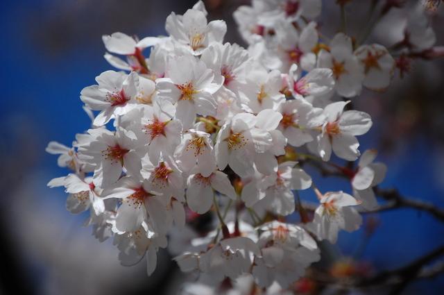 夜桜_d0172270_16343811.jpg