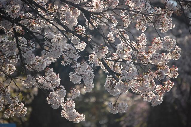 夜桜_d0172270_16351050.jpg