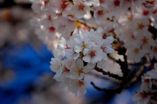 夜桜_d0172270_16425492.jpg