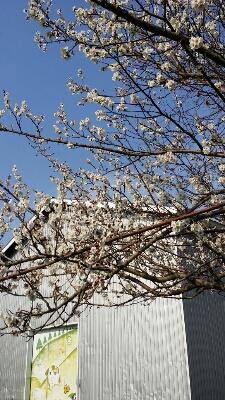 春。_a0164408_1762527.jpg
