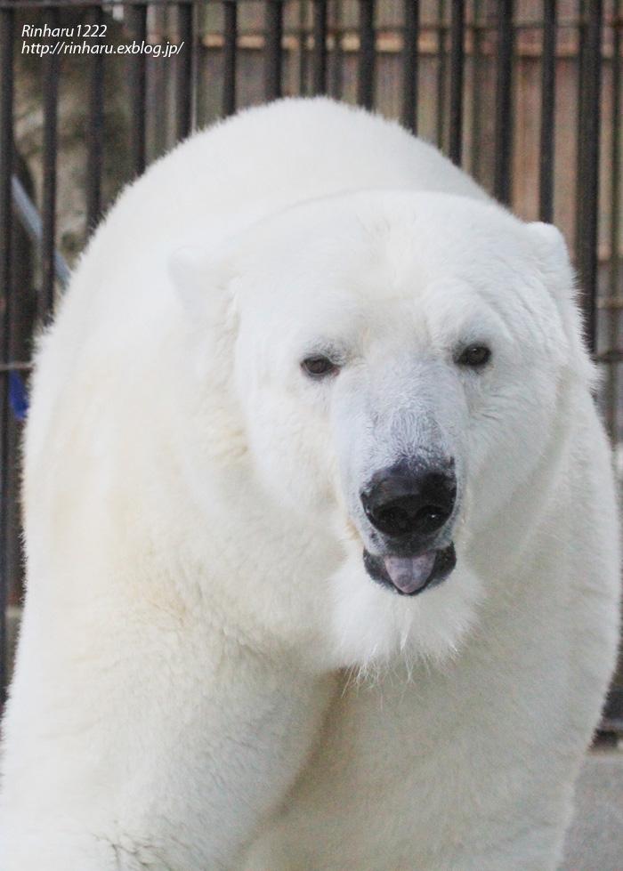 2014.1.11 とべ動物園☆ホッキョクグマのピース【Polar bear】_f0250322_23203552.jpg