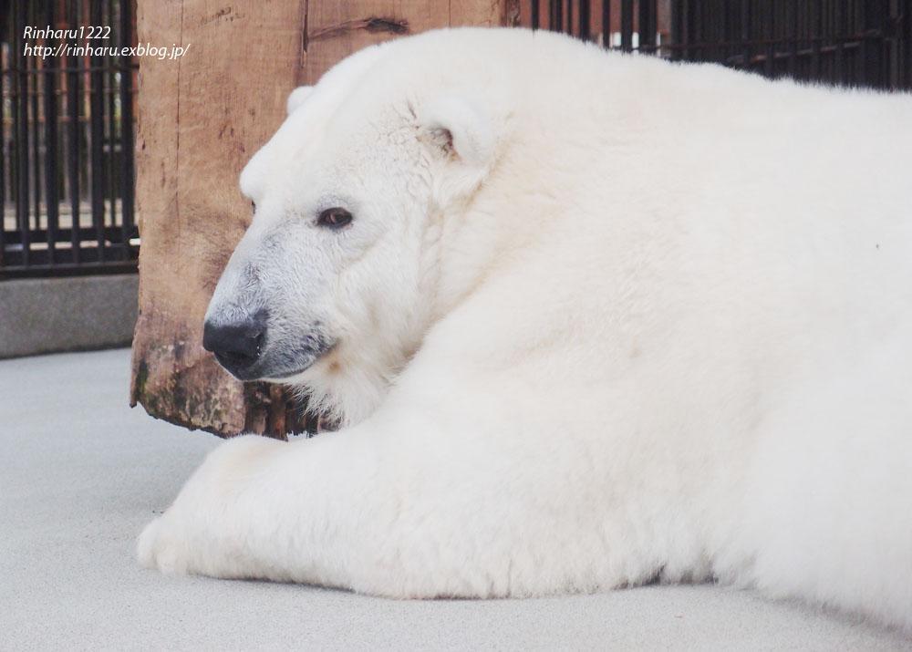 2014.1.11 とべ動物園☆ホッキョクグマのピース【Polar bear】_f0250322_23203651.jpg