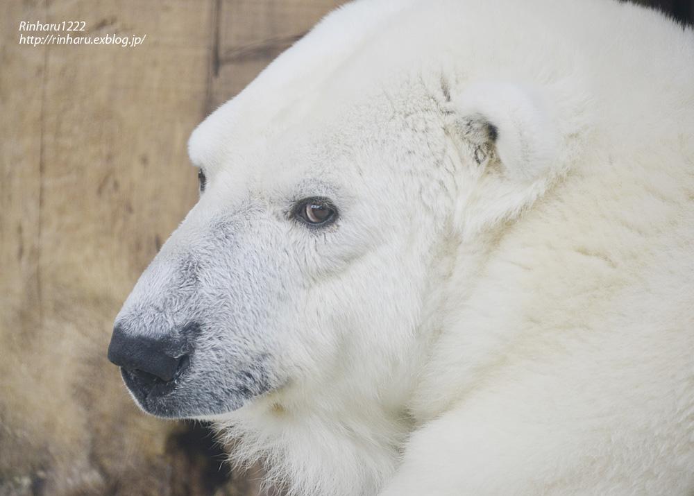 2014.1.11 とべ動物園☆ホッキョクグマのピース【Polar bear】_f0250322_23203792.jpg