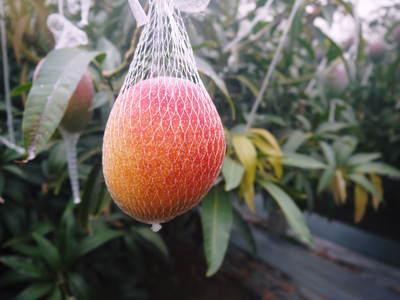 完熟アップルマンゴー 着果の様子を現地取材! まもなく始まる匠の摘果作業!_a0254656_18374875.jpg