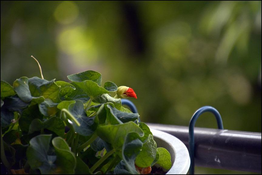 都心のベランダのレモンの木に花芽がつきました_a0031363_0184533.jpg