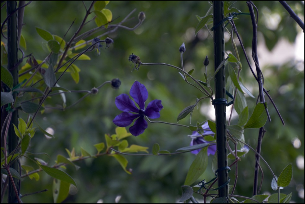 都心のベランダのレモンの木に花芽がつきました_a0031363_0232919.jpg