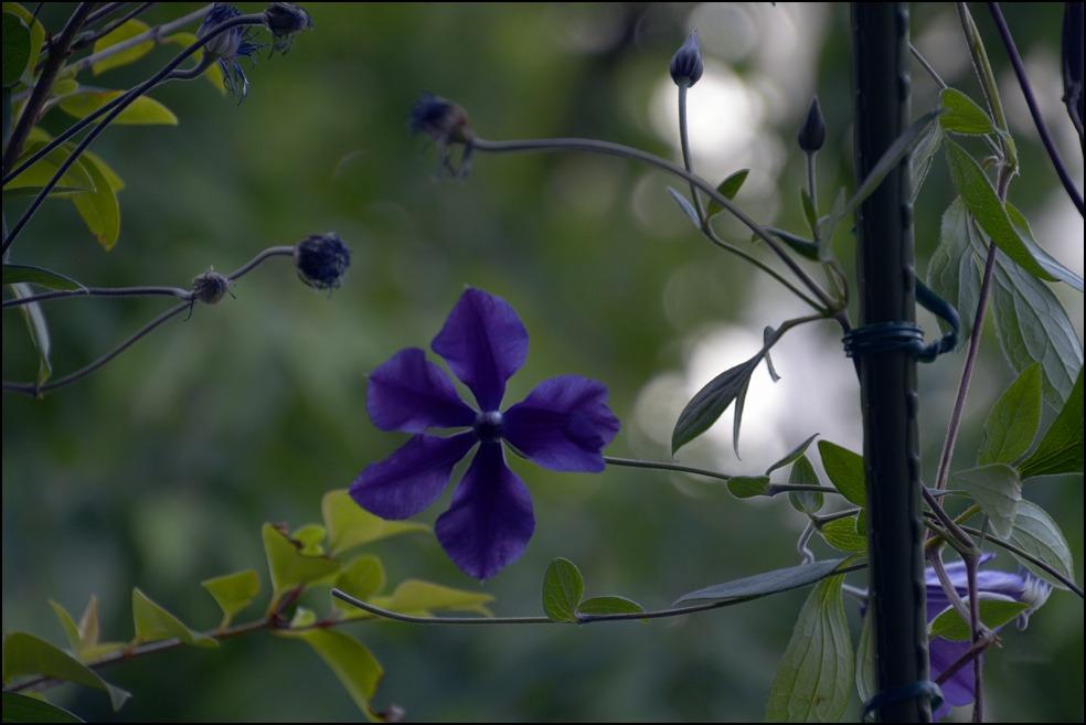 都心のベランダのレモンの木に花芽がつきました_a0031363_0235989.jpg