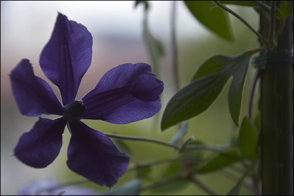 都心のベランダのレモンの木に花芽がつきました_a0031363_0265053.jpg