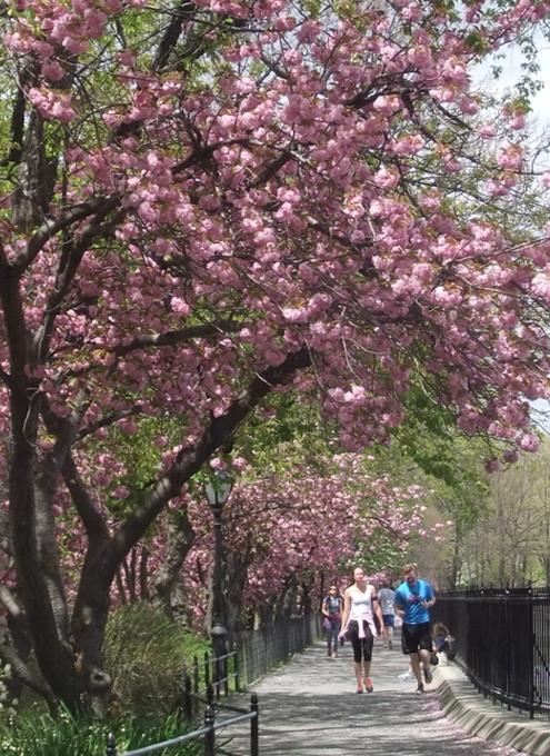 ニューヨークの桜シーズン_b0007805_20271711.jpg