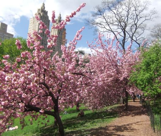 ニューヨークの桜シーズン_b0007805_2027336.jpg