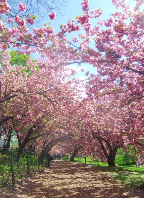 ニューヨークの桜シーズン_b0007805_203103.jpg