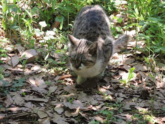 自然教育園の猫_e0232277_11163189.jpg