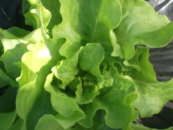 サラダの食材を収穫!_b0137932_11425549.jpg