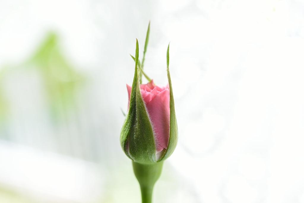 くれ ない の 二 尺 伸び たる 薔薇 の 芽 の 針 やわらか に 春雨 の ふる 意味 正岡子規 くれなゐの二尺伸びたる薔薇の芽の針やはらかに春雨の降る