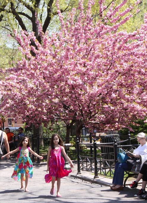 ニューヨークの桜シーズン_b0007805_6522886.jpg