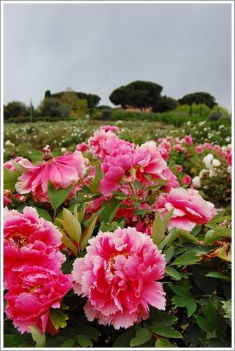 Peonia 牡丹園_f0062510_1852599.jpg