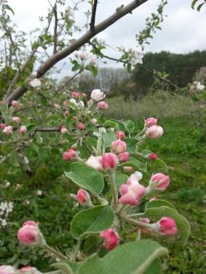 りんごの花が盛り!_a0256619_11495841.jpg