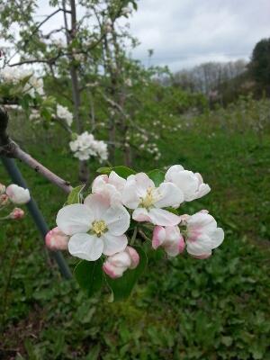 りんごの花が盛り!_a0256619_11501159.jpg