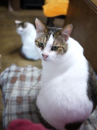 猫のお友だち ホビちゃんガクくんガブくんハルちゃんダイヤちゃんフーちゃん編。_a0143140_22365388.jpg