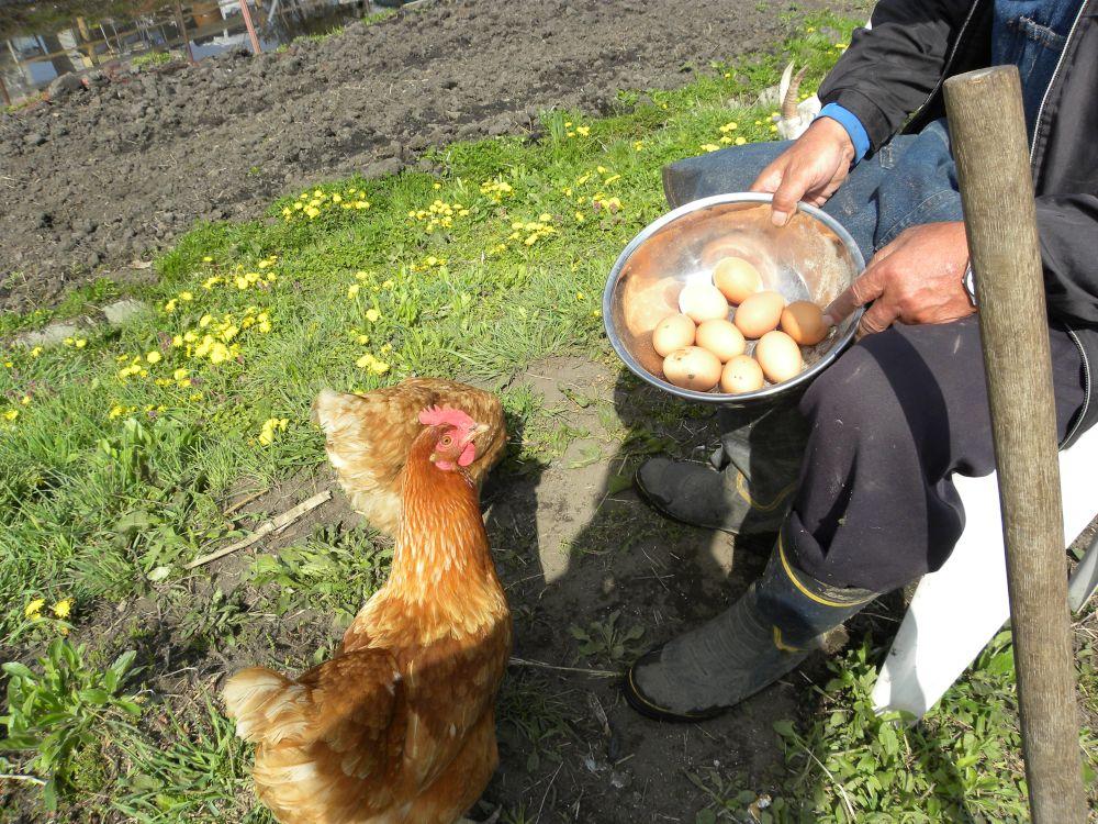 おのこの地鶏も元気・元気・・・。_b0329588_14081732.jpg