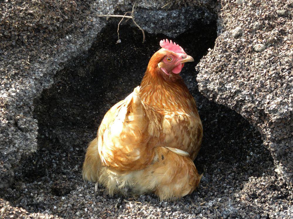 おのこの地鶏も元気・元気・・・。_b0329588_14082850.jpg