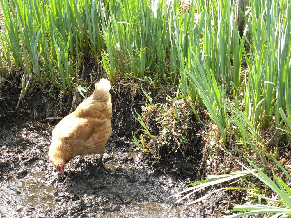 おのこの地鶏も元気・元気・・・。_b0329588_14153778.jpg