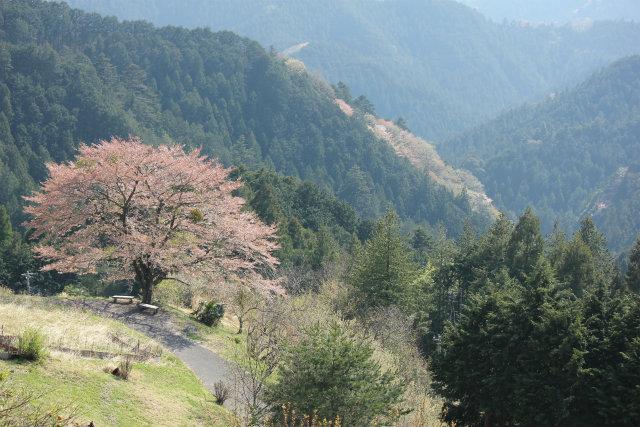 奥武蔵桜三昧3 八徳の一本桜_b0246693_14380372.jpg