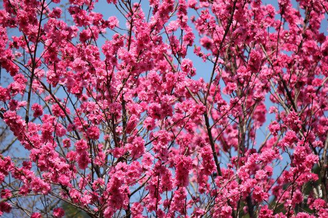 奥武蔵桜三昧3 八徳の一本桜_b0246693_14381714.jpg