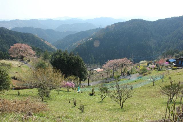奥武蔵桜三昧3 八徳の一本桜_b0246693_14384620.jpg