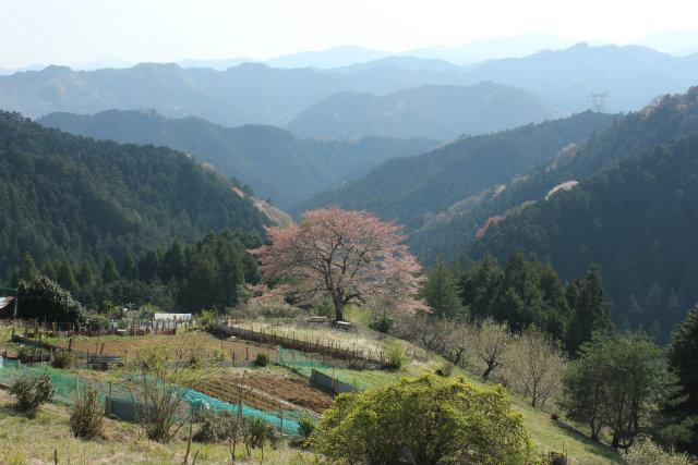 奥武蔵桜三昧3 八徳の一本桜_b0246693_14390142.jpg