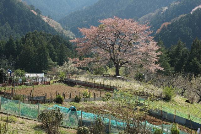 奥武蔵桜三昧3 八徳の一本桜_b0246693_14391083.jpg