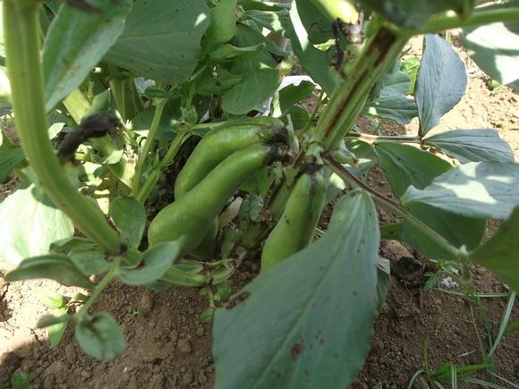 のんびり豆の収穫!_b0137932_21143524.jpg