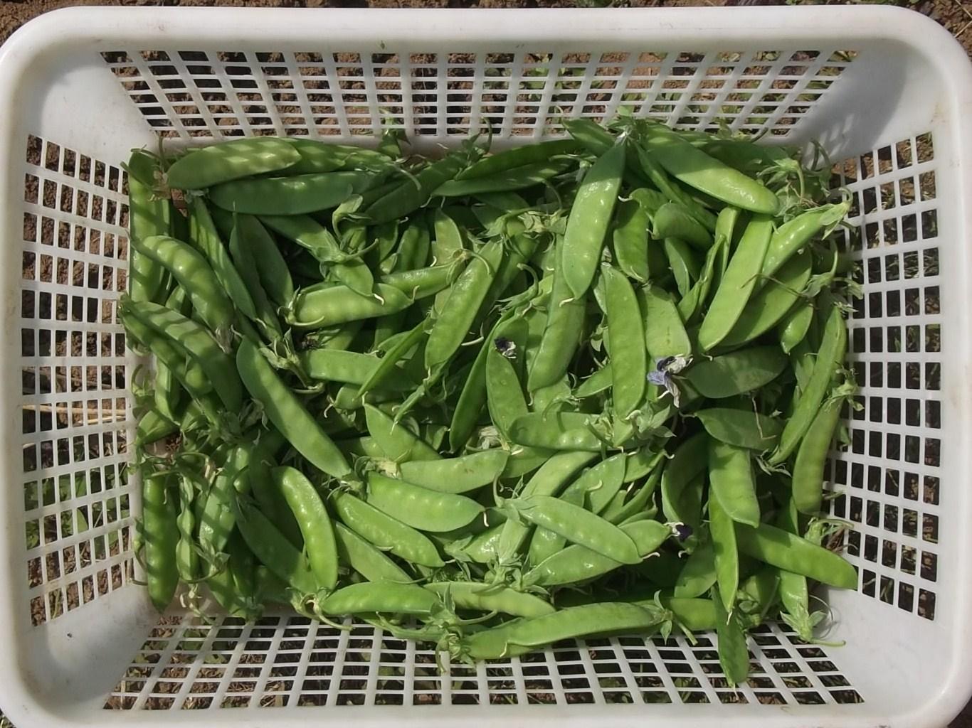 のんびり豆の収穫!_b0137932_2115277.jpg