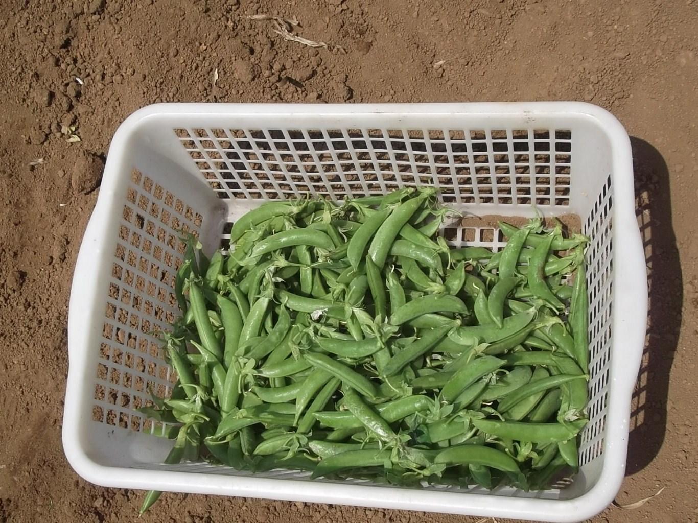 のんびり豆の収穫!_b0137932_2118331.jpg