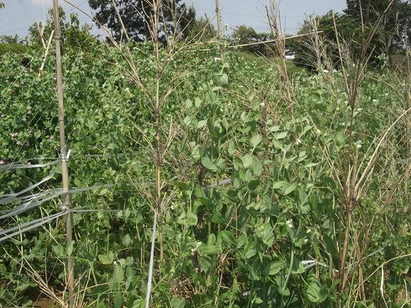 のんびり豆の収穫!_b0137932_2119111.jpg