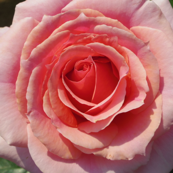五月の薔薇_f0158364_09132996.jpg
