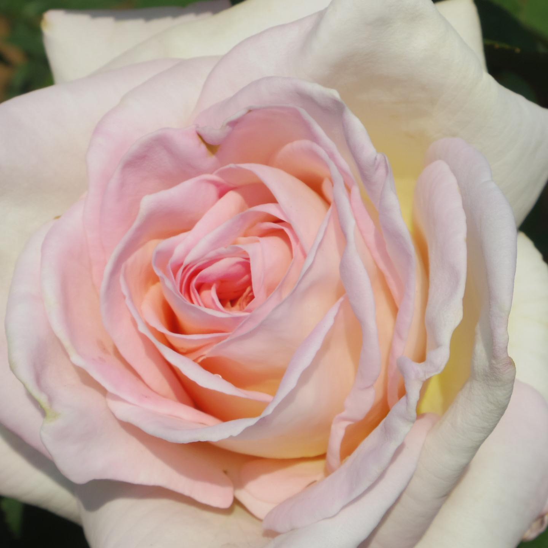 五月の薔薇_f0158364_09135125.jpg