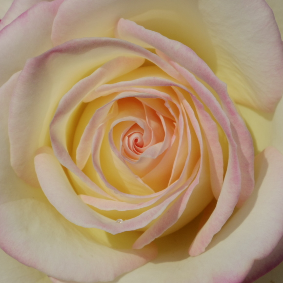 五月の薔薇_f0158364_09140487.jpg