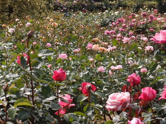 五月の薔薇_f0158364_09145895.jpg