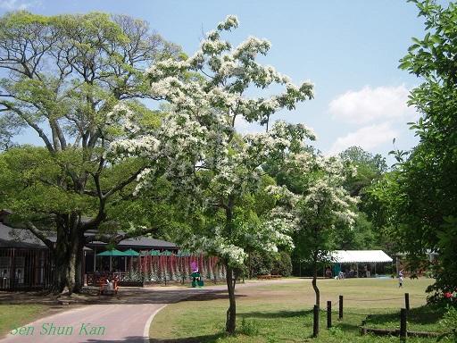 植物園 (なんじゃもんじゃ) 2014年5月12日_a0164068_21581934.jpg