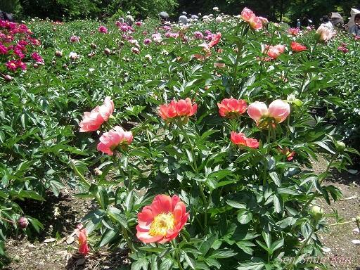 植物園 (なんじゃもんじゃ) 2014年5月12日_a0164068_21585256.jpg