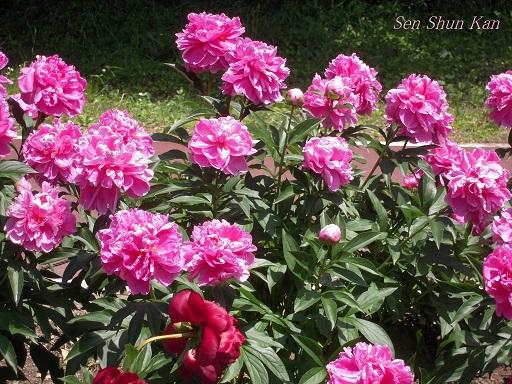 植物園 (なんじゃもんじゃ) 2014年5月12日_a0164068_21592860.jpg