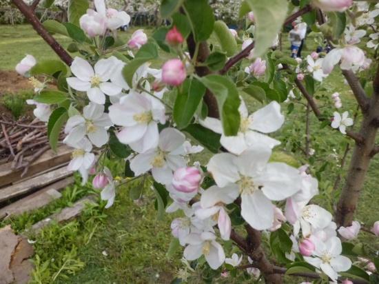 りんごの花咲く頃_a0025572_23563567.jpg
