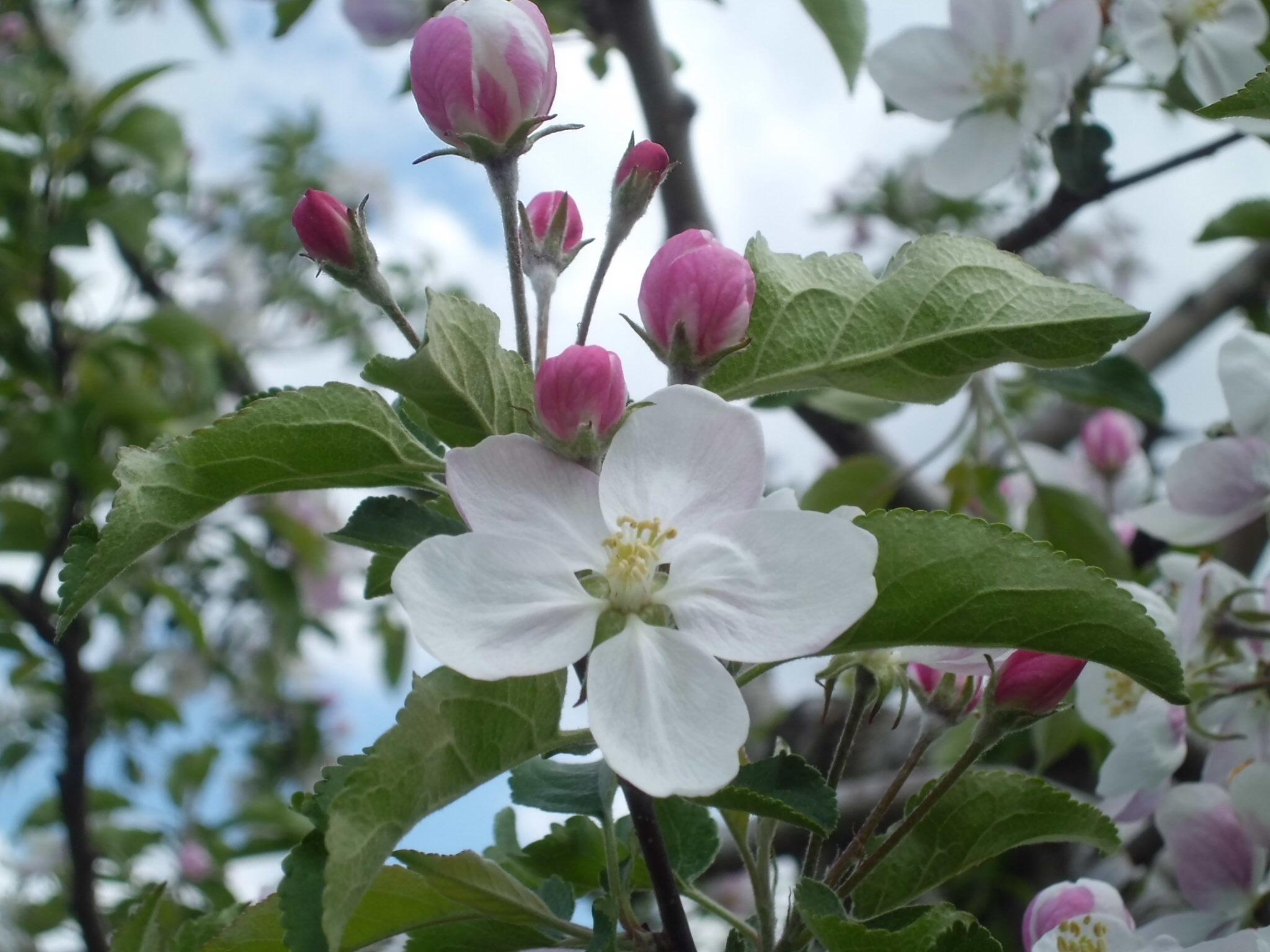 りんごの花咲く頃_a0025572_23571769.jpg