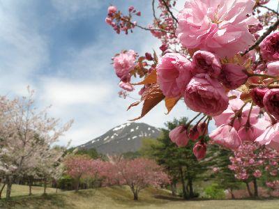 昭和の森の八重桜_a0096989_6281812.jpg