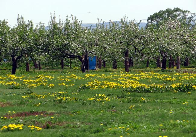 満開のリンゴの花と残雪の岩木山♪_a0136293_18555820.jpg