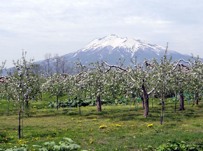 満開のリンゴの花と残雪の岩木山♪_a0136293_18582759.jpg